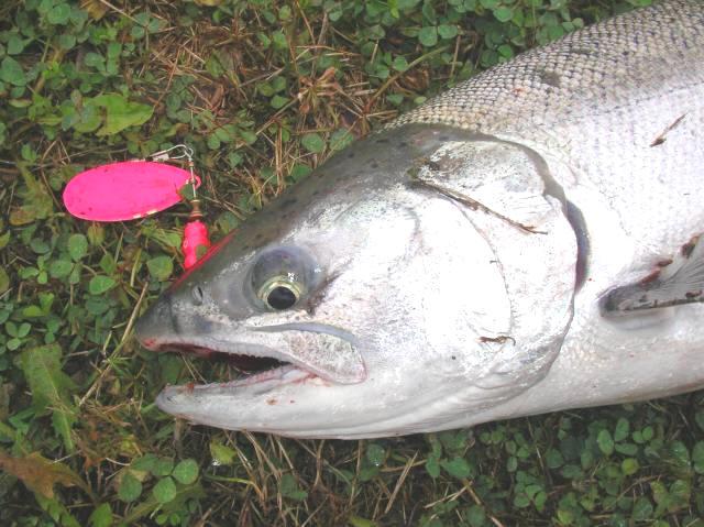 Fall salmon fishing the lower chehalis section 1 for Chehalis river fishing